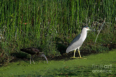 Heron And Ibis Print by Mark Newman