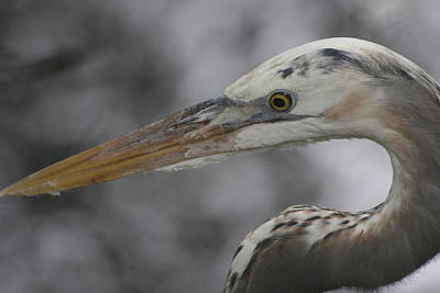 Photograph - Heron by Carlynne Hershberger