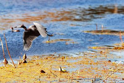 Wetland Photograph - Heron In Flight At Brazos Bend State Park by Katrina Lau