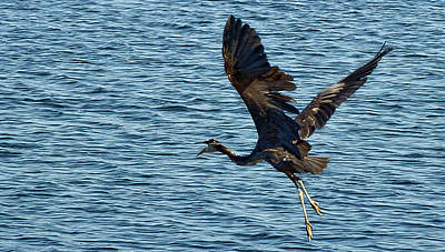 Heron In Flight Print by Ron Roberts