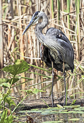 Animal Photograph - Heron In The Marsh by Marcia Colelli