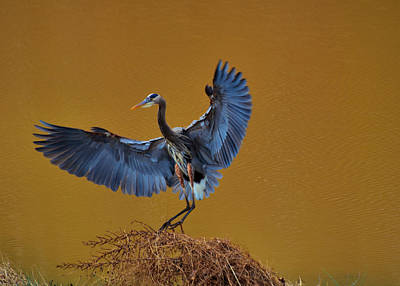 Heron With Wings Out - 9235 Print by Paul Lyndon Phillips