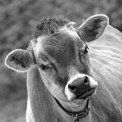 Jersey Cow Photograph - Hey - You Think I'm Funny - Cow Bw by Gill Billington