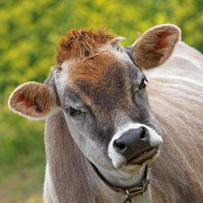 Jersey Cow Photograph - Hey - You Think I'm Funny - Cow by Gill Billington