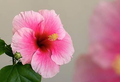 Hibiscus Photograph - Hibiscus Flower by K Jayaram
