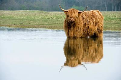 Het Photograph - Highland Cattle by Duncan Shaw