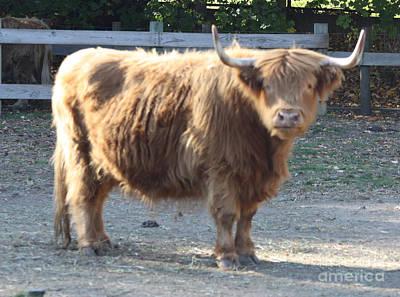 Telfer Photograph - Highland Cattle by John Telfer