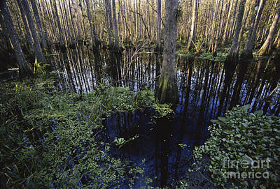 Cypress Swamp Photograph - Highlands Hammock State Park by Mark Newman