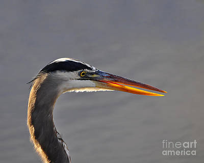 Great Heron Photograph - Highlighted Heron by Al Powell Photography USA