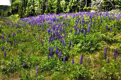 Flowers Photograph - Hillside Of Lupin by David Patterson