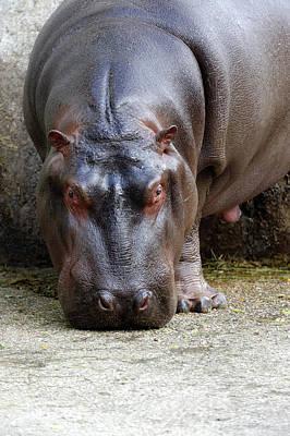 Hippopotamus Photograph - Hippopotamus by Heiti Paves
