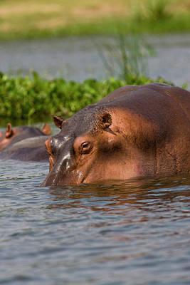 Hippopotamus Photograph - Hippopotamus (hippopotamus Amphibius by Martin Zwick