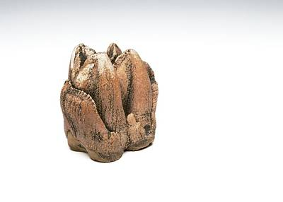 Hippopotamus Photograph - Hippopotamus Tooth by Ucl, Grant Museum Of Zoology