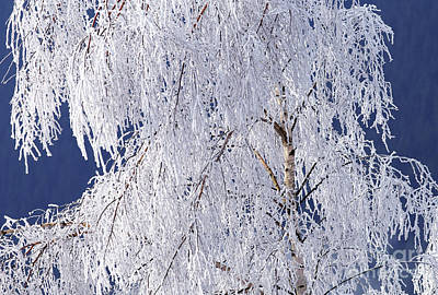Hoar Frost On Tree Print by Sharon Talson