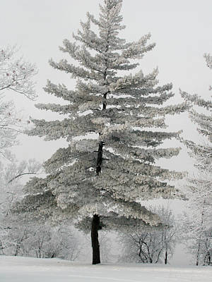 Hoarfrost Photograph - Hoarfrost Pine Tree by Rob Huntley
