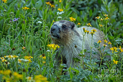 Hoary Marmot In Glacier Np Meadow Print by Natural Focal Point Photography