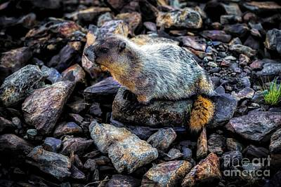 Hoary Marmot Original by Jon Burch Photography