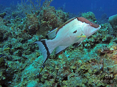 Parrotfish Photograph - Hogfish On Reef by Carey Chen