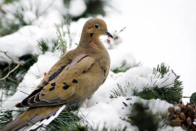 Framed Winter Snow Photograph - Holiday Dove by Christina Rollo