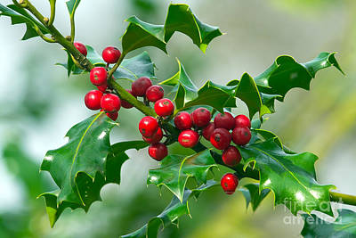 Holly Berries Print by Sharon Talson