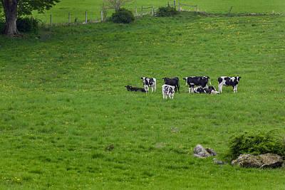 Holsteins Print by Bill Wakeley