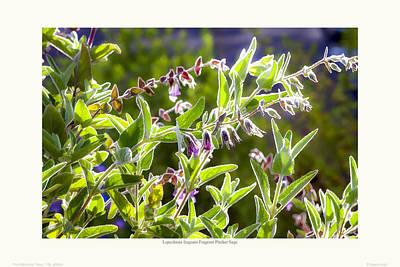 Lepechinia Fragrans - Pitcher Sage Print by Saxon Holt