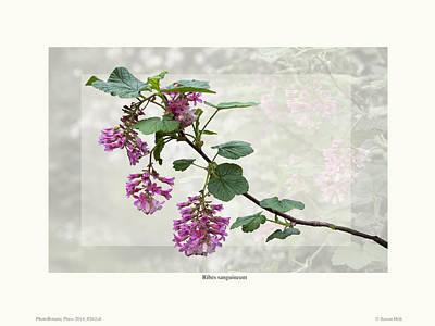 Ribes Sanguineum - California Currant Print by Saxon Holt