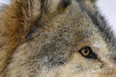 Wolf Photograph - Holy Macro by Wildlife Fine Art