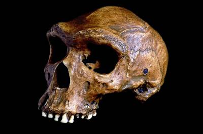 Rhodesian Photograph - Homo Heidelbergensis Skull, Broken Hill by Science Photo Library