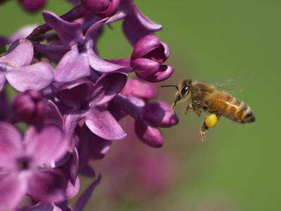 Peterson Nature Photograph - Honey Bee And Lilac by James Peterson