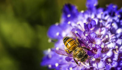 Pincushion Photograph - Honey Bee by Caitlyn  Grasso