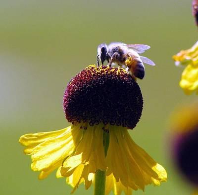 Honeybee Print by Chris Gudger
