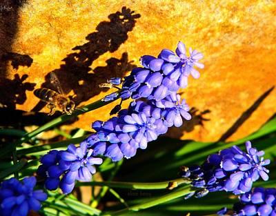 Honeybee In Flight To Grape Hyacinth Print by Chris Berry
