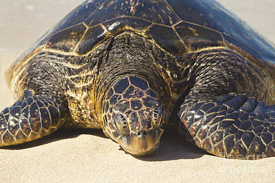 Hawaiian Honu Photograph - Honu Hawaiian Sea Turtle Hookipa Beach Maui North Shore Hawaii  by Sharon Mau