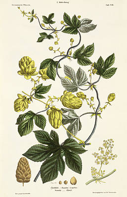 Food And Beverage Drawing - Hop Vine From The Young Landsman by Matthias Trentsensky