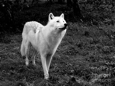 Black. Arctic Wolf Photograph - Hopeful by Vicki Spindler