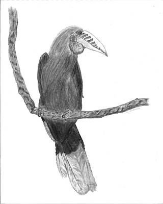 Hornbill Drawing - Hornbill Harry by D Sharelle