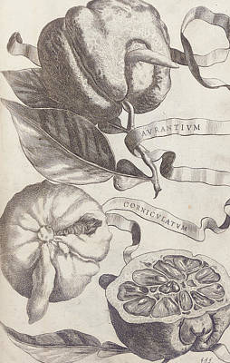 Lime Drawing - Horned Orange by Cornelis Bloemaert