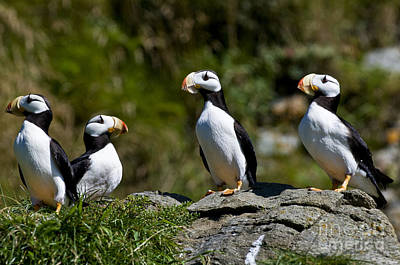 Puffin Photograph - Horned Puffins by William H. Mullins
