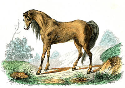 Horse Print by Collection Abecasis