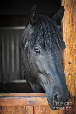 Stall Photograph - Horse In Stable by Elena Elisseeva