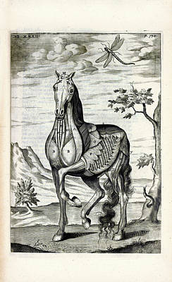 Horse Musculature Anatomy Print by National Library Of Medicine