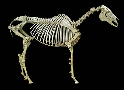 Horse Skeleton Print by Natural History Museum, London