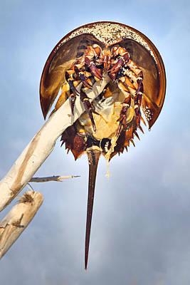 Horseshoe Crab Photograph - Horseshoe Crab Skeleton by Betsy Knapp