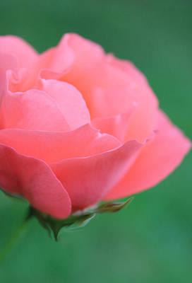 Pink Photograph - Hosanna by  The Art Of Marilyn Ridoutt-Greene