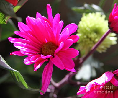 Hot Pink Daisies Print by Cathy Lindsey