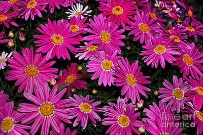 Hot Pink Daisies Original by Kaye Menner
