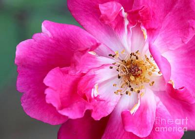 Hot Pink Rose Print by Sabrina L Ryan