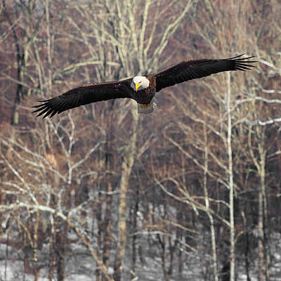 Housatonic River Eagle Square Print by Bill Wakeley