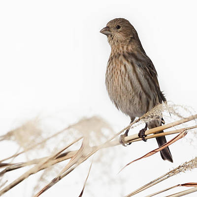 House Finch Female Square Print by Bill Wakeley